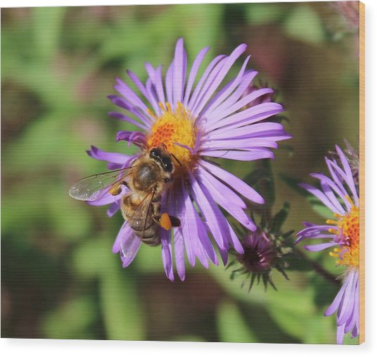 Honeybee On Purple Wild Aster Wood Print