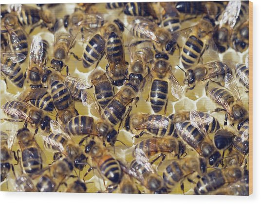 Honeybees On Honeycomb Wood Print