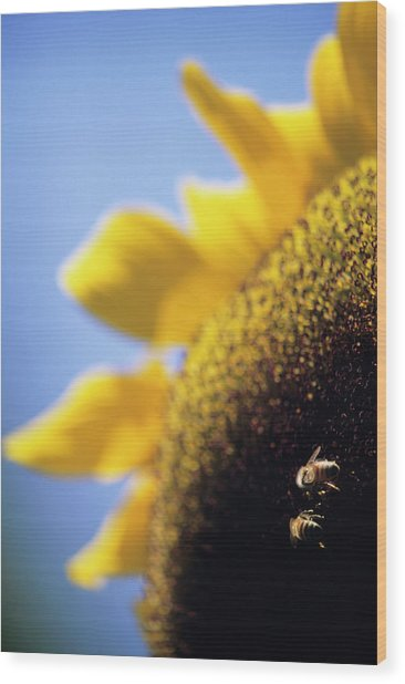 Honeybees Pollinating A Sunflower Wood Print