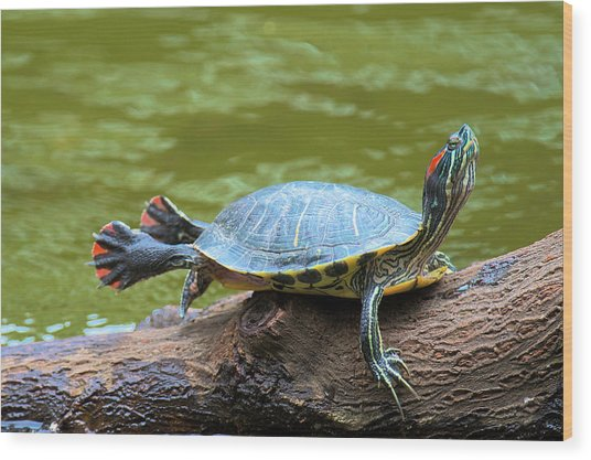 Hong Kong, A Painted Turtle Stretches Wood Print