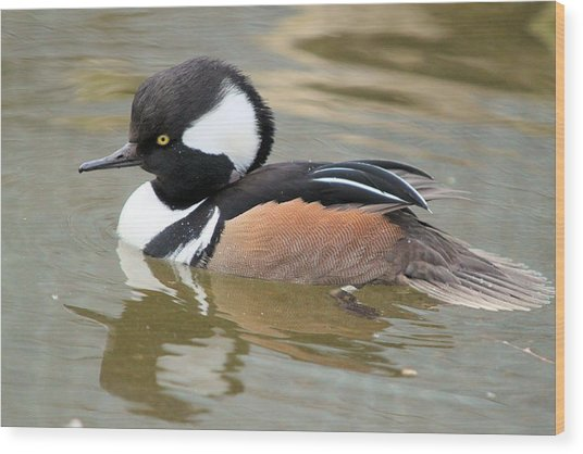 Hooded Merganser Drake Wood Print
