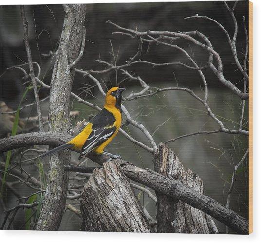 Hooded Oriole Wood Print