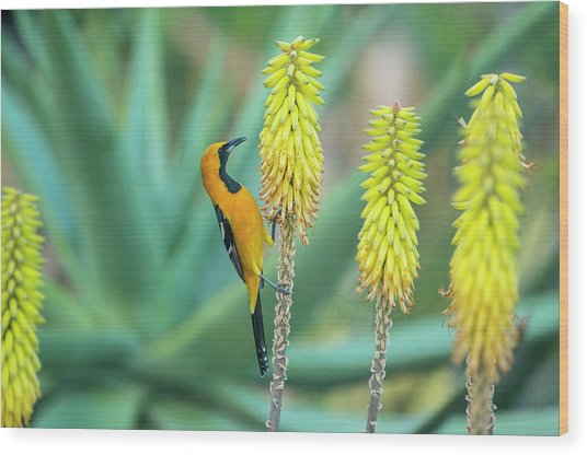Hooded Oriole Male Feeding On A Flower Wood Print by Gerard Soury
