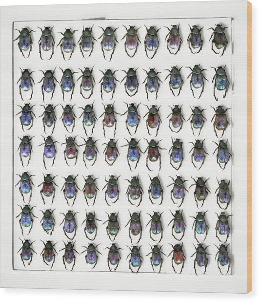 Hoplia Coerulea Scarab Beetles Wood Print by F. Martinez Clavel/science Photo Library