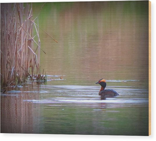 Horned Grebe Wood Print by Marcus Moller