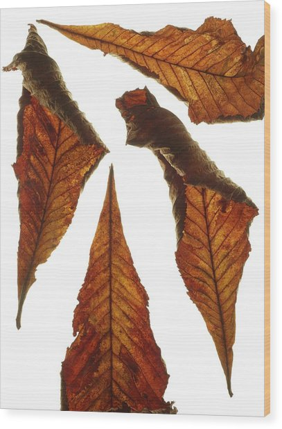 Horse Chestnut Leaves Wood Print by Science Photo Library