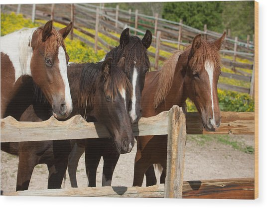 Horses Behind A Fence Wood Print