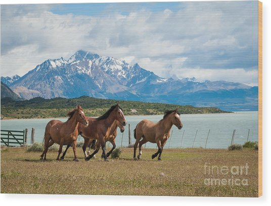Horses Galloping In Patagonia Wood Print by OUAP Photography