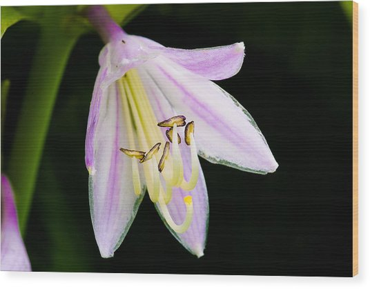 Hosta In Bloom Wood Print