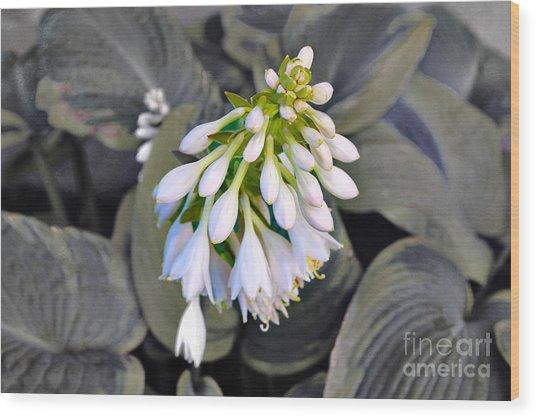 Hosta Ready To Bloom Wood Print
