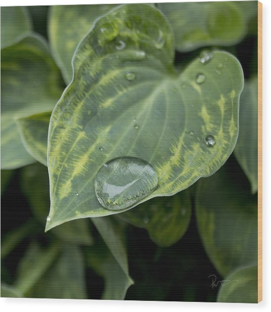 Hosta Wood Print by Stephen Prestek