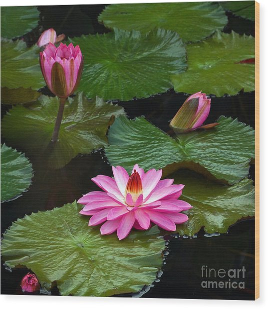 Hot Pink And Green Tropical Waterlilies Wood Print