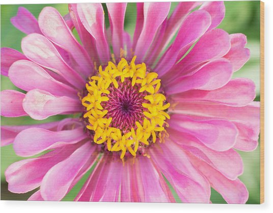 Hot Pink Zinnia Wood Print