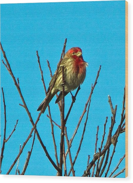 House Finch Wood Print by Constantine Gregory