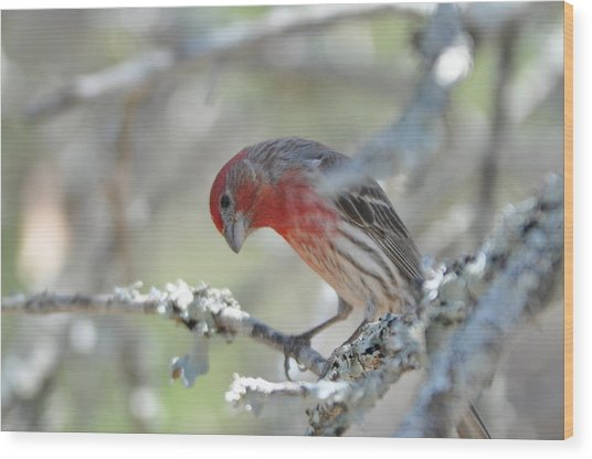House Finch Wood Print