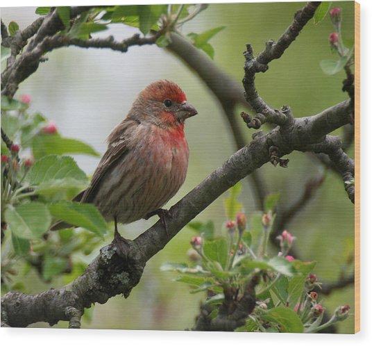 House Finch In Apple Tree Wood Print