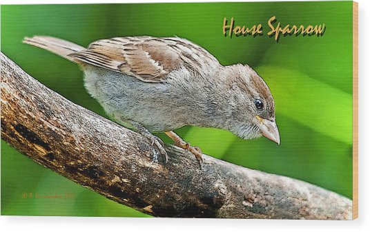 House Sparrow Juvenile Poster Image Wood Print by A Gurmankin