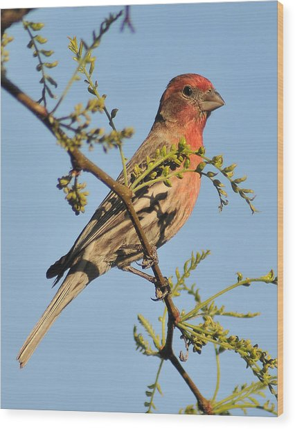 Housefinch 272 Wood Print