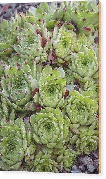 Houseleek (sempervivum 'tip Top') Wood Print by Adrian Thomas/science Photo Library