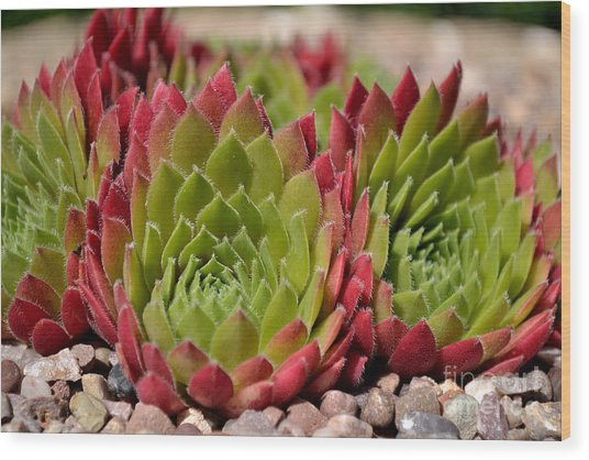 Houseleeks Aka Sempervivum From The Side Wood Print