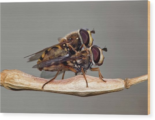 Hover Flies Mating Wood Print by Dr. John Brackenbury/science Photo Library