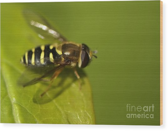 Hoverfly On A Leaf Wood Print by Sharon Talson