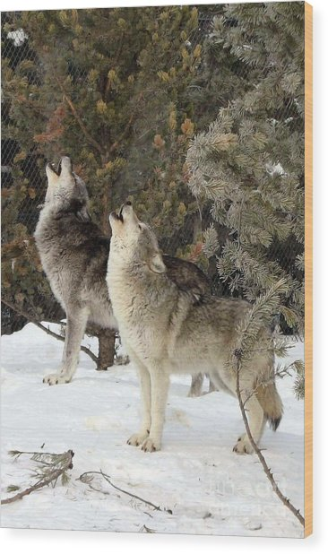 717a Howling Wolves  Wood Print