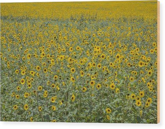 Huge Wild Sunflower Colony Wood Print