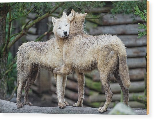 Hugging Arctic Wolves Wood Print by Picture By Tambako The Jaguar