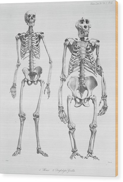 Human And Gorilla Skeletons Wood Print by Natural History Museum, London/science Photo Library