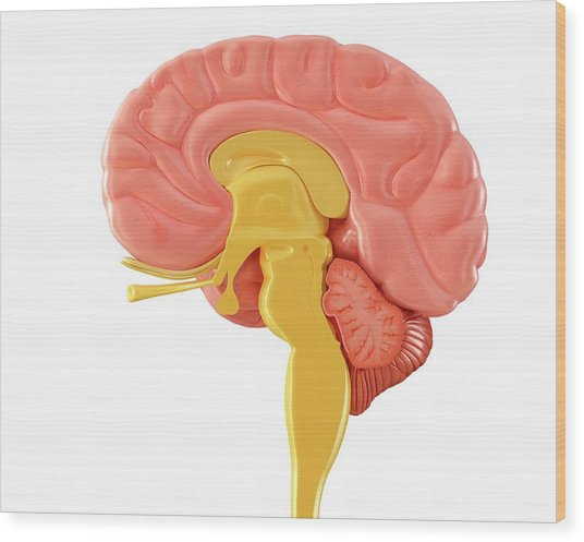 Human Brain Sagittal Mid-section Wood Print by Pixologicstudio/science Photo Library