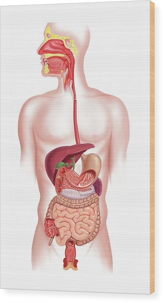 Human Digestive System, Artwork Wood Print by Science Photo Library - Leonello Calvetti