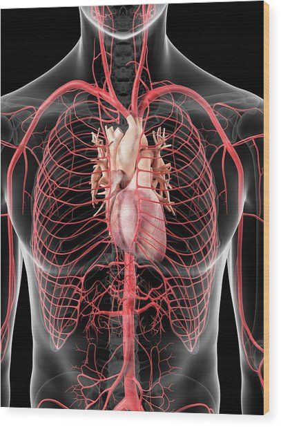 Human Heart And Arteries Wood Print by Sciepro