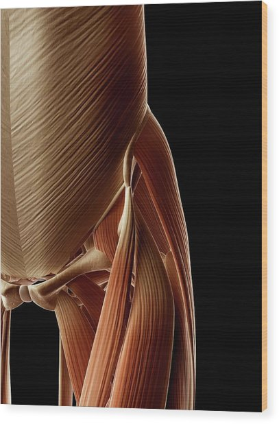 Human Hip Muscles Wood Print by Sebastian Kaulitzki