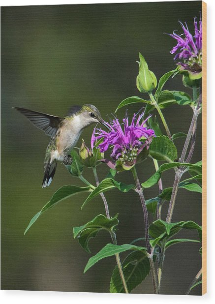 Hummer On Bee Balm Wood Print