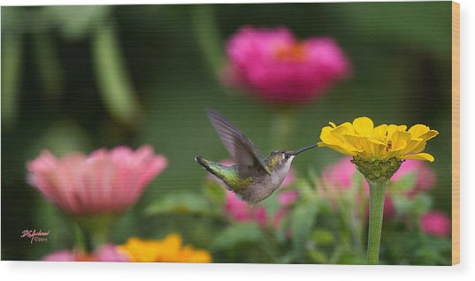 Hummer On Yellow Zinnia Wood Print