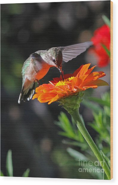 Hummingbird And Zinnia Wood Print