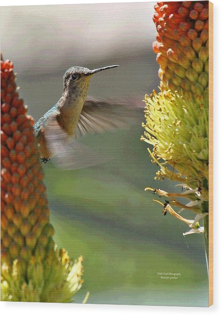Hummingbird Feeding Wood Print