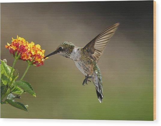 Hummingbird Feeding On Lantana Wood Print by DansPhotoArt on flickr