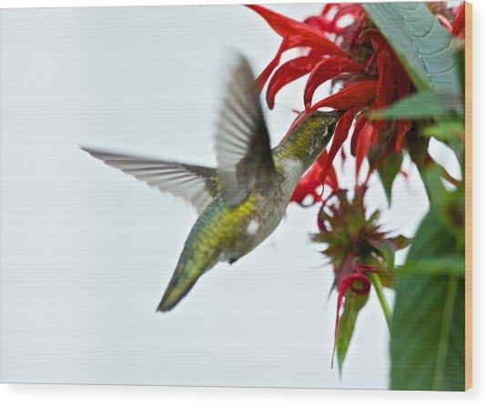Hummingbird Focused On The Scarlet Bee Balm Wood Print