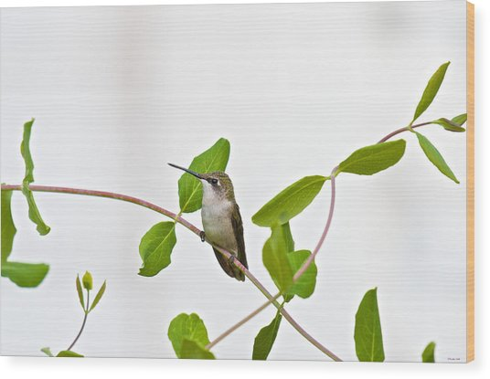 Hummingbird Hanging Out On The Honeysuckle Wood Print