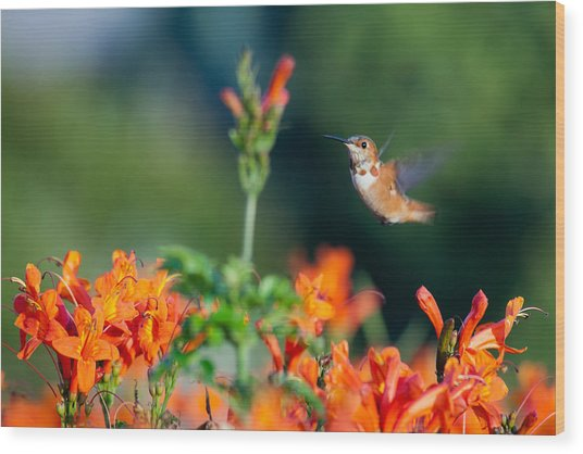 Hummingbird IIi Wood Print