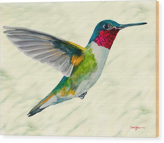 Da103 Broadtail Hummingbird Daniel Adams Wood Print