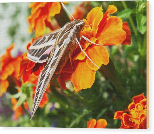 Hummingbird Moth On A Marigold Flower Wood Print