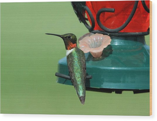 Hummingbird On Feeder Wood Print