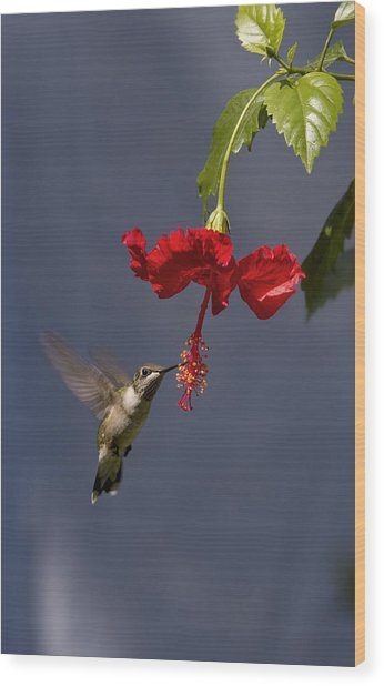 Hummingbird On Hibiscus Wood Print