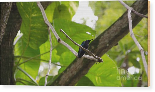 Hummingbird Out On A Limb Wood Print