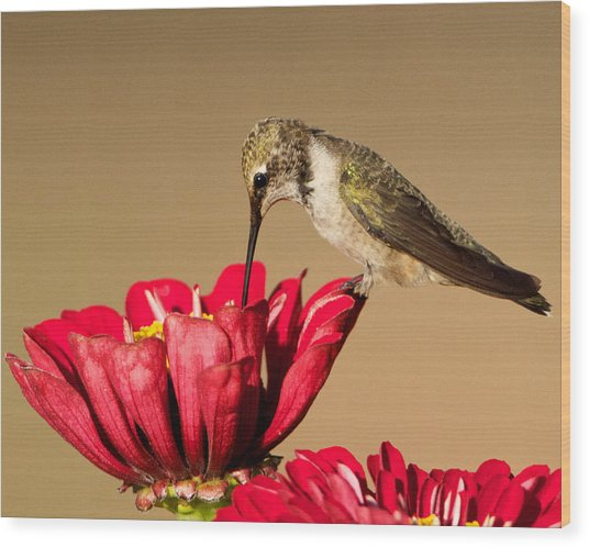 Hummingbird Perched On A Zinnia Wood Print