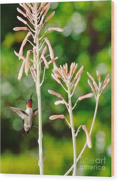 Hummingbird Pink Green - Floating Hummingbird Flashes Red Wood Print by Wayne Nielsen