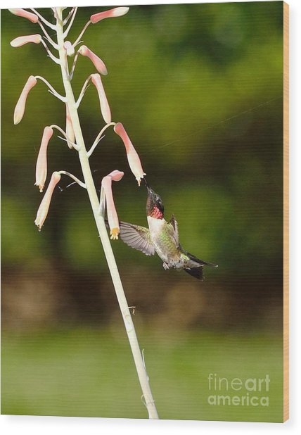 Hummingbird Sips Deep - Arches In Perfect Form Into Trumphet Wood Print by Wayne Nielsen